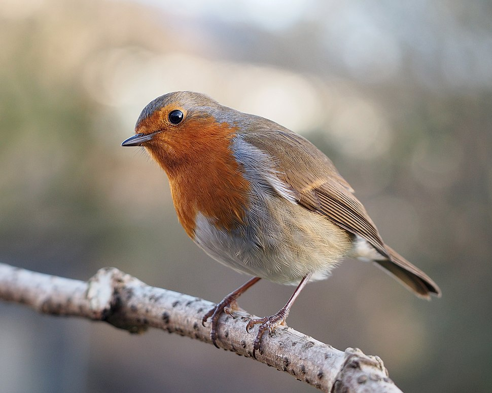 Erithacus rubecula with cocked head