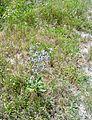 Eryngium planum in a meadow.jpg