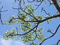 Erythrina - emerging leaves (8328945558).jpg