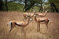 Ethiopian gazelles obviously concerned by the foreign intruder. (38556232966).jpg