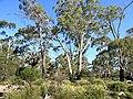 Eucalyptus viminalis habit.jpg