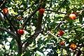 Eugenia uniflora fruits at their tree.jpg