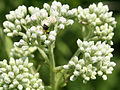 Eupatorium perfoliatum SCA-9253.jpg