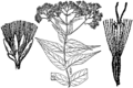 Eupatorium sessilifolium drawing 02.png