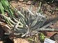 Euphorbia baioensis (Washington DC).jpg