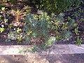 Euphorbia characias in Arboretum Angers.jpg