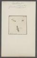 Eupithecia - Print - Iconographia Zoologica - Special Collections University of Amsterdam - UBAINV0274 058 01 0099.tif