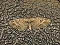 Eupithecia exiguata (14243150826).jpg