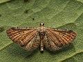 Eupithecia simpliciata - Plain pug - Цветочная пяденица лебедовая (40056269265).jpg