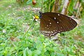 Euploea core - 1390.jpg