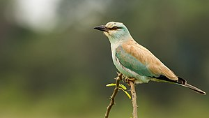 European roller - At Hesaraghatta Lake