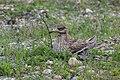 Eurasian Thicknee at nest - Along Po river - Italy FJ0A1083 (42078945772).jpg