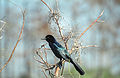 Everglades48(js)-Boat-tailed Grackle.jpg