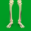 Extensor hallucis longus muscle - anteriror view.png