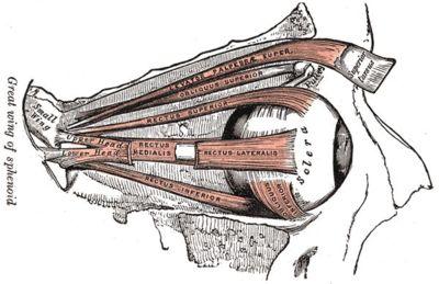 Augenmuskeln