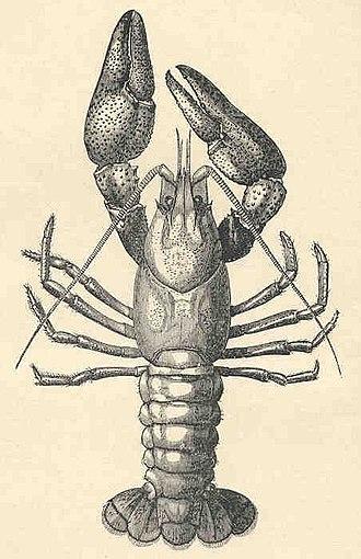 Samuel Wendell Williston - Image: FMIB 35665 Common Crayfish (Astacus fluviatilis, Male) (cropped)