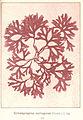 FMIB 53648 Rhodophycees ou Floridees (Algues rouges) Gigartinees, Gymnogongrus norvegicus (Gunn) J A.jpeg