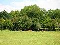 Fallow Deer, Wadhurst Park - geograph.org.uk - 512917.jpg
