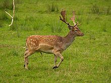 ELEN 220px-Fallow_deer_in_field