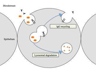 Neonatal Fc receptor