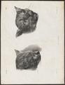 Felis catus - kop - 1700-1880 - Print - Iconographia Zoologica - Special Collections University of Amsterdam - UBA01 IZ22100292.tif