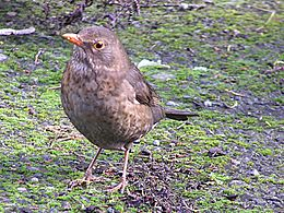 Female Blackbird.jpg