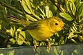 Female Wilson's Warbler (9328053851).jpg