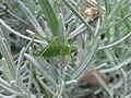 Female speckled bush-cricket (Leptophyes punctatissima), Sandy, Bedfordshire (6047095246).jpg