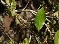 Ficus ¿ tinctoria ssp. parasitica ? (5493558065).jpg