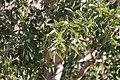 Ficus cordata cordata 95732287.jpg
