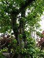 Ficus nymphaeifolia 01 by Line1.jpg