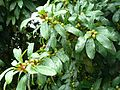 Ficus thonningii, vye, Tuks.jpg