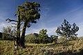 Fields Peak and Bristlecone Pines-Malheur (23931683615).jpg