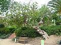 Figuera del parc de les Aigües P1500830.jpg