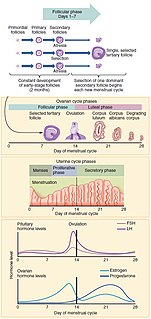 Menstrual cycle A type of ovulation cycle where the endometrium is shed if pregnancy does not occur