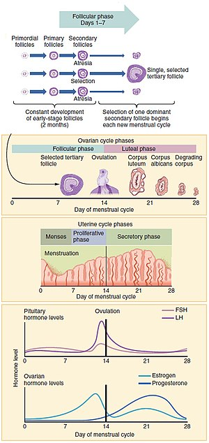 Menstruation - Figure showing the progression of the menstrual cycle and the different hormones contributing to it.
