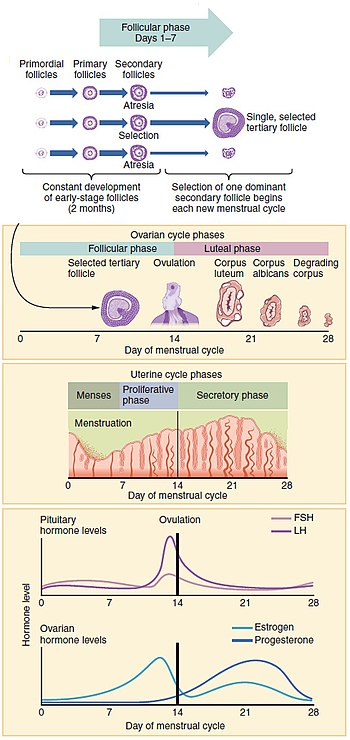 Over the mentrual cycle different physiological changes occur in the uterus as well as ovaries.