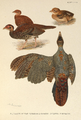 Fireback Pheasant plumage by Henrik Grönvold.png