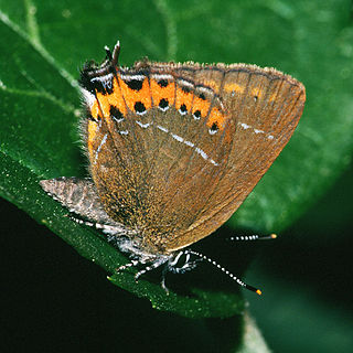 <i>Satyrium</i> (butterfly) genus of insects