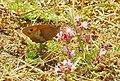 Fjärilar Butterfly (23323057391).jpg