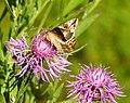 Fjärilar Butterfly (23379486936).jpg