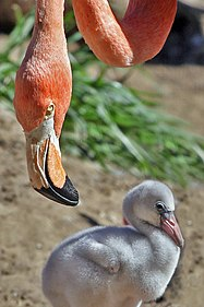 Flamingo and offspring.jpg