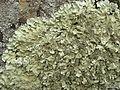 Flavoparmelia-like lichen - Flickr - pellaea (1).jpg