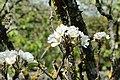 Fleur poirier 04.jpg