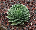 Flickr - brewbooks - Agave victoriae-reginae (Queen Victoria's agave) (1).jpg