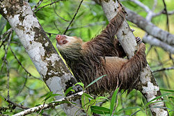 Flickr - ggallice - Two-toed sloth.jpg