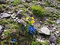 Flora alpina - panoramio.jpg