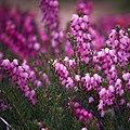 Flores del brezo o erica - Flickr - diocrio.jpg