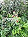 Flors a l'entorn del museu de Leimebamba.jpg