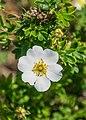 Flower of Cistus monspeliensis.jpg